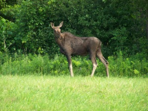Vermont Moose Near Corn Crib Post and Beam Property