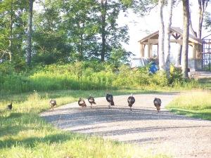 Vermont Timberframe Turkeys