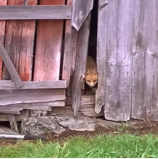 Fox visitor | Green mountain timber frames | Rupert granary