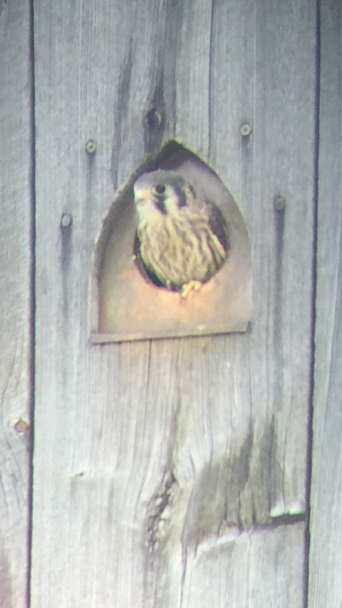 kestrel in vintage barn by Green mountain timber frames