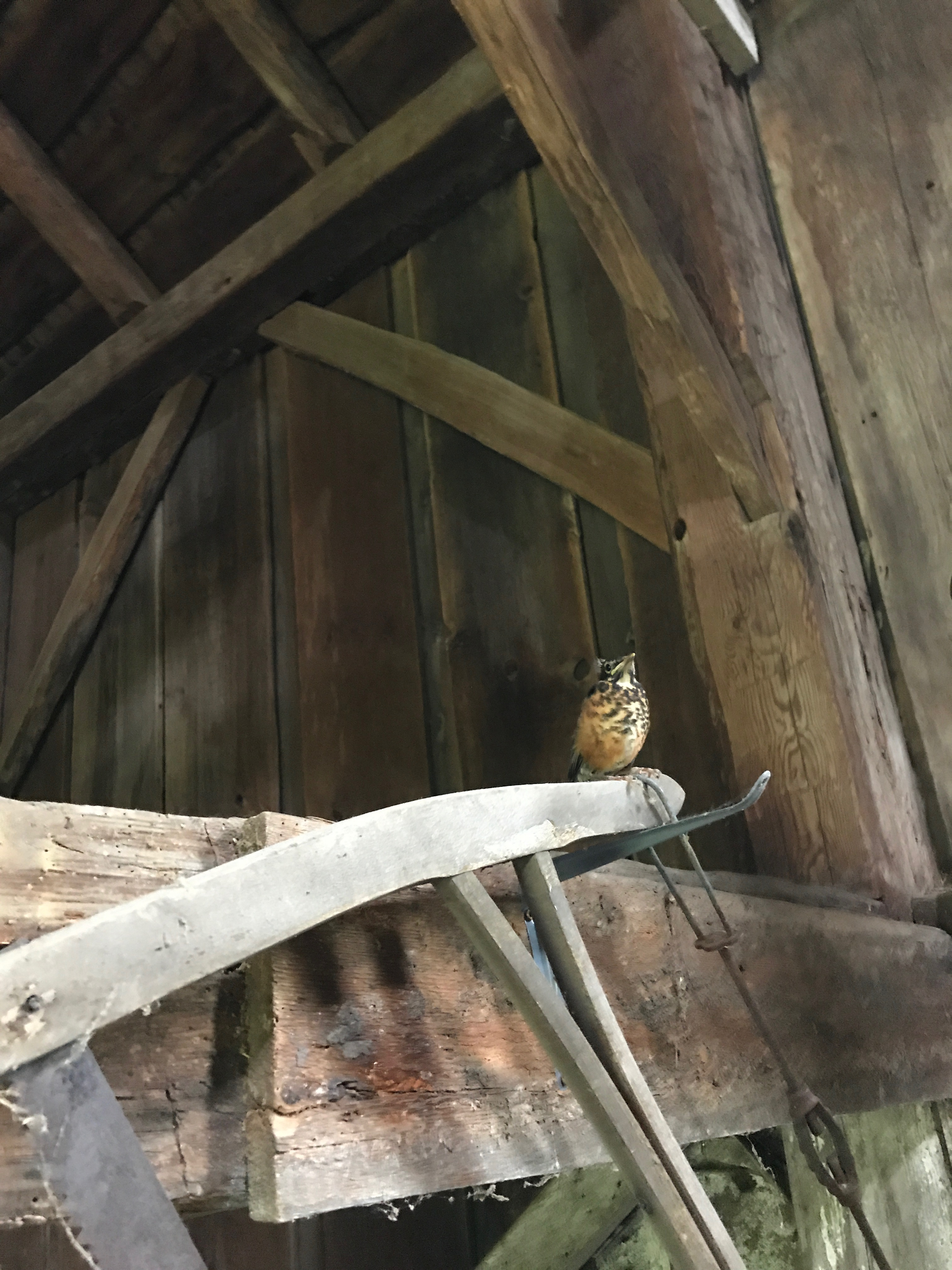 robin fledgling in the Waterford gunstock frame green mountain timber frames