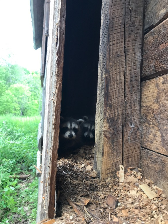 baby raccoons hiding in historic Vermont old barn