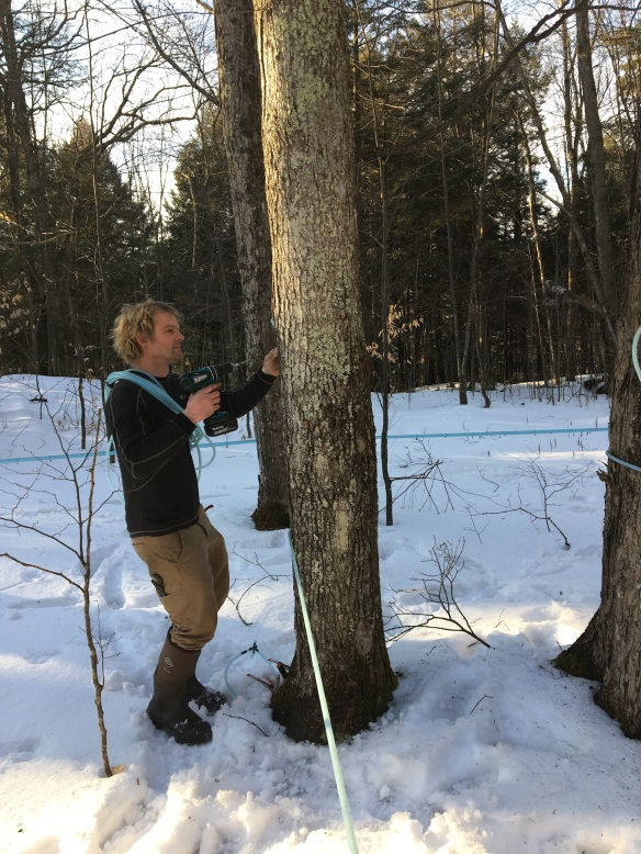 luke larson drilling for vermont maple syrup with GMTF
